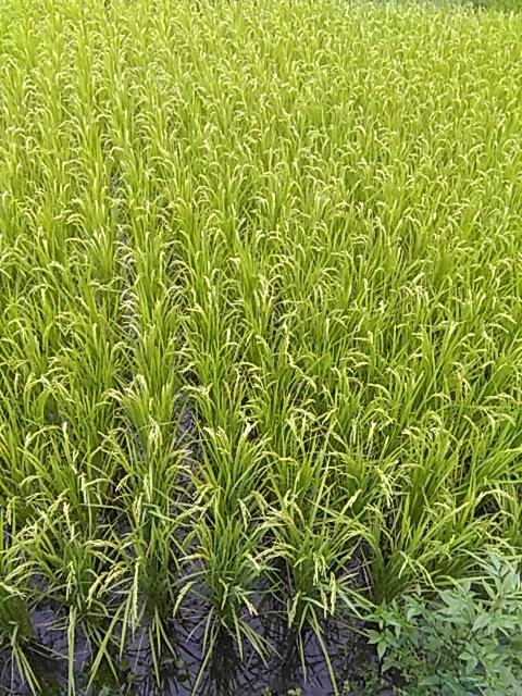 自然栽培こしひかり 稲の穂
