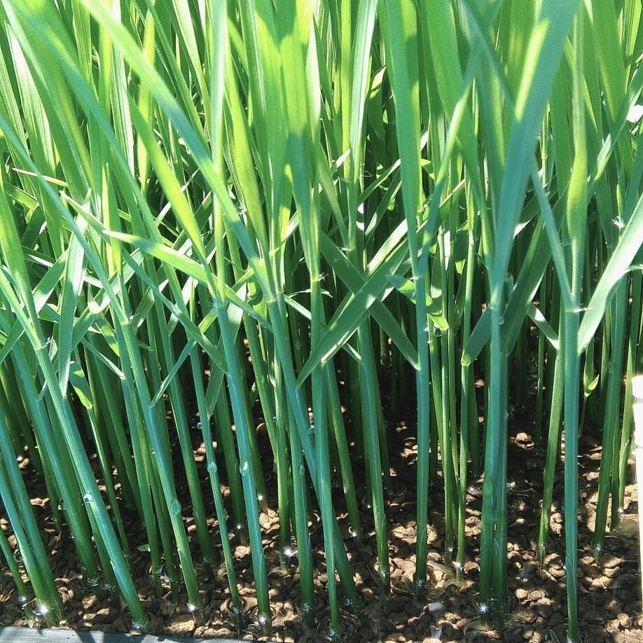 自然栽培の稲の苗